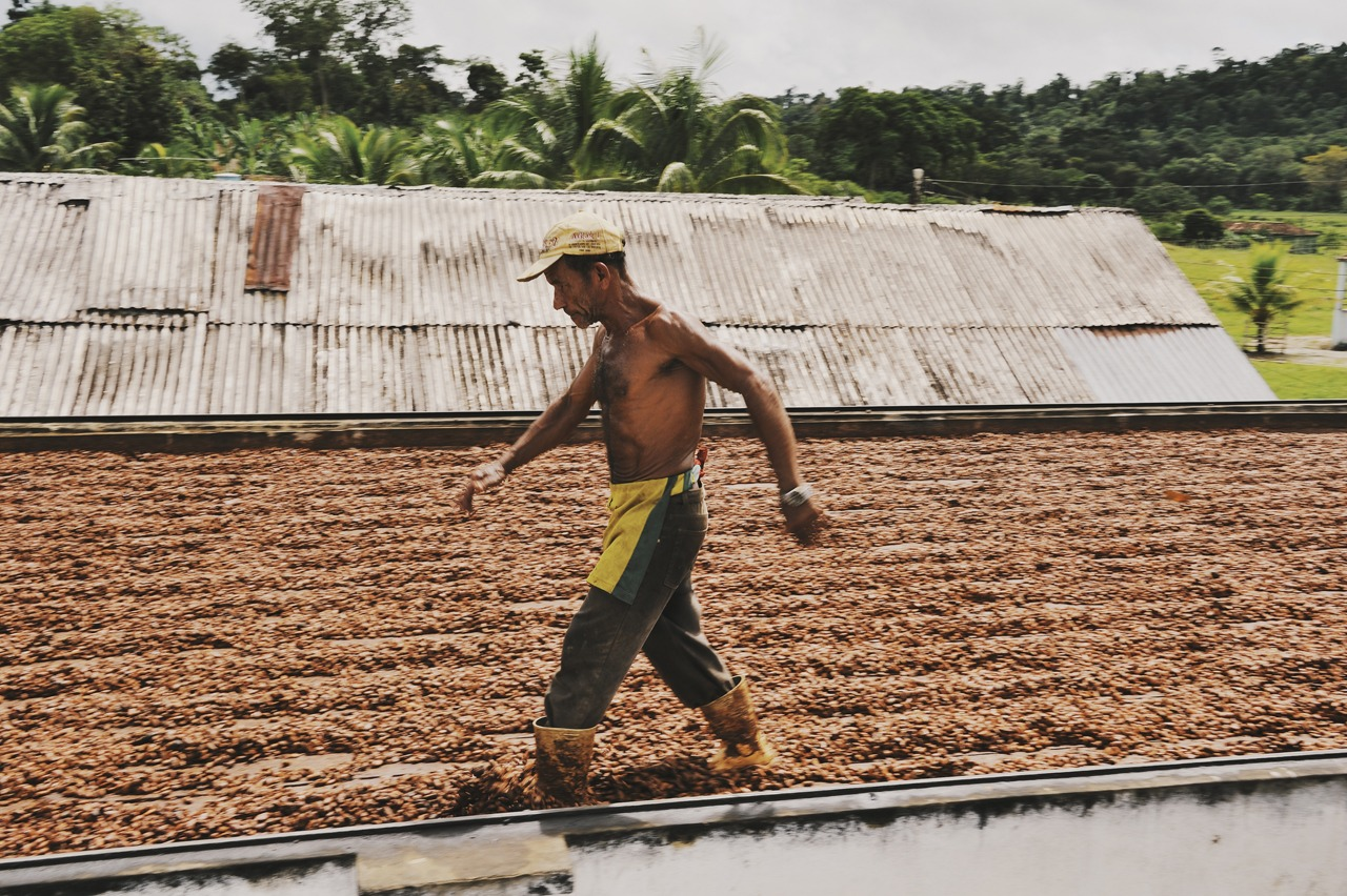 cocoa farmer drying cocoa beans