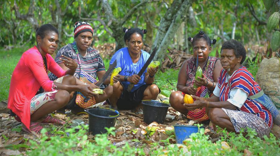 Ransiki cocoa bean harvesting